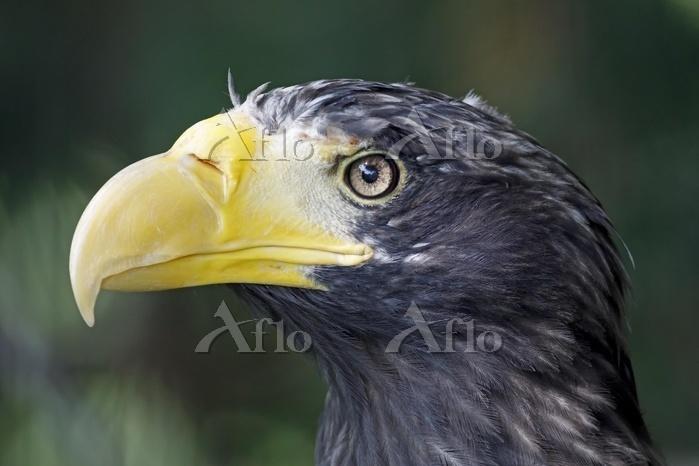 Steller's sea eagles (Haliaeet・・・