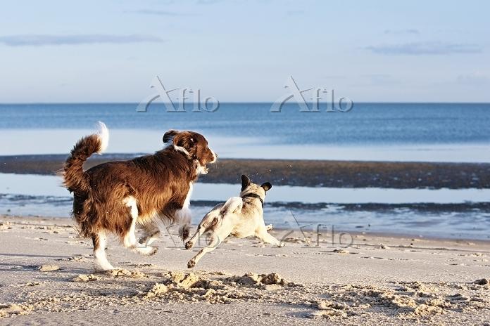 犬 ボーダーコリー
