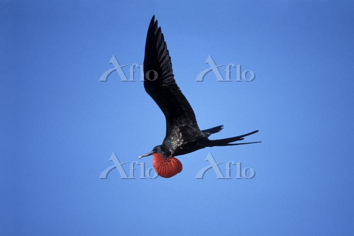Male Great frigate bird in fli・・・