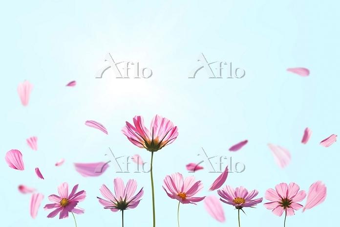 舞い散るコスモスの花びら