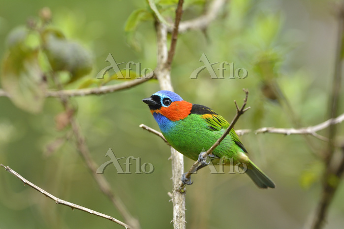 Red-necked tanager (Tangara cy・・・