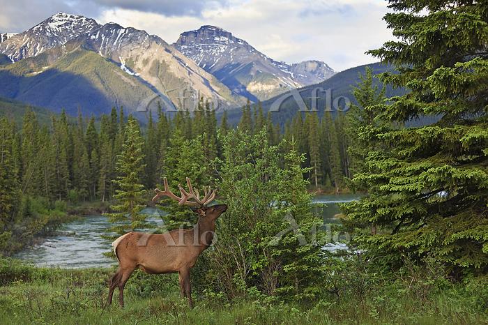 Bull elk in a landscape of lak・・・