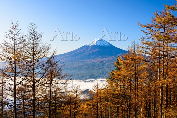 山梨県 新道峠より黃葉のカラマツ林と富士山