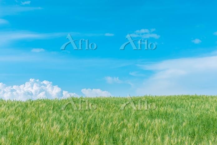北海道 美瑛町 入道雲と風にそよぐ麦