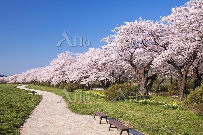 岩手県 展勝地の桜