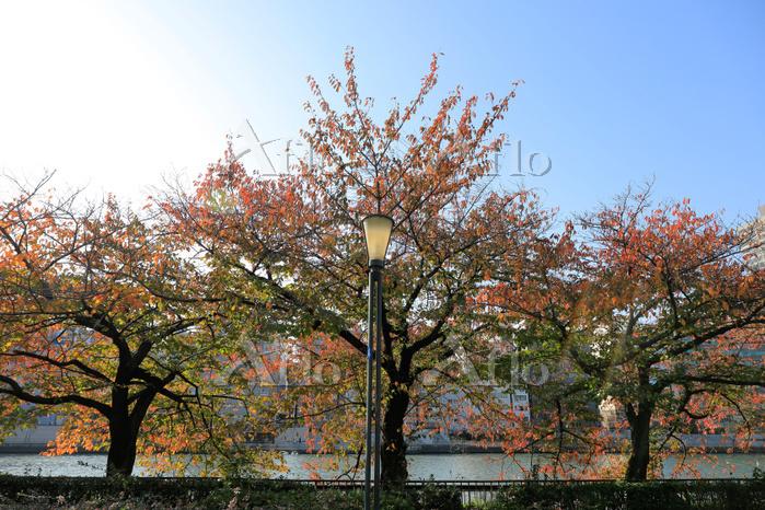 大阪府 桜の紅葉(定点撮影30)