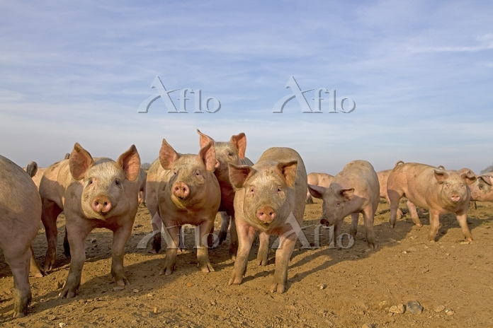 Domestic Pig, young, group in ・・・
