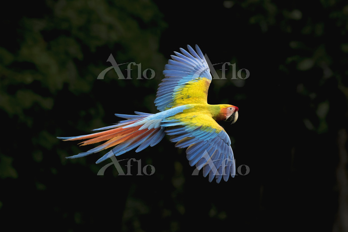 学名:Ara macao Scarlet Macaw (Ar・・・