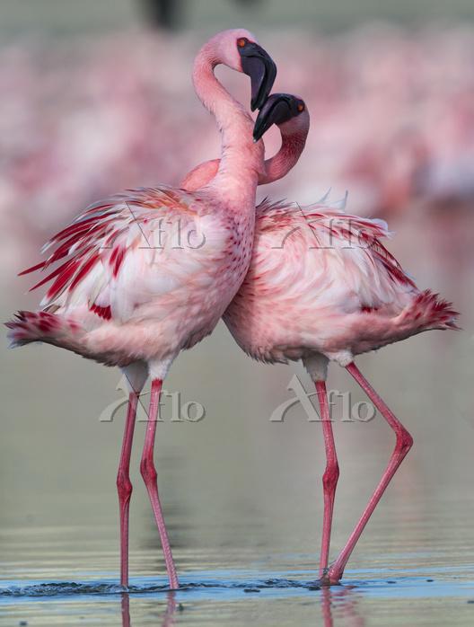 Lesser flamingo (Phoenicoparru・・・