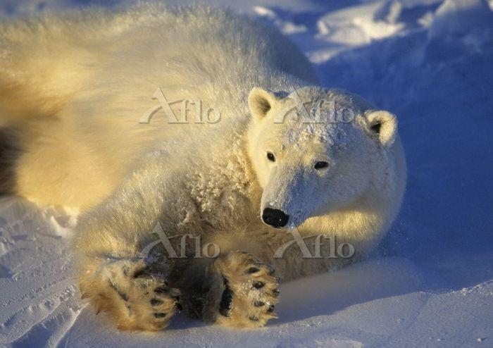 Polar bear laying in snow in e・・・