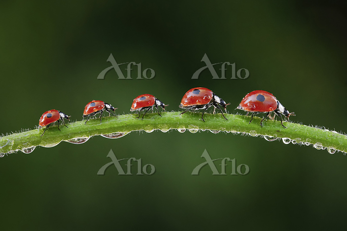 Two-spotted Ladybird, Two-spot・・・