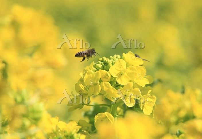 和歌山県 古座川町の菜の花