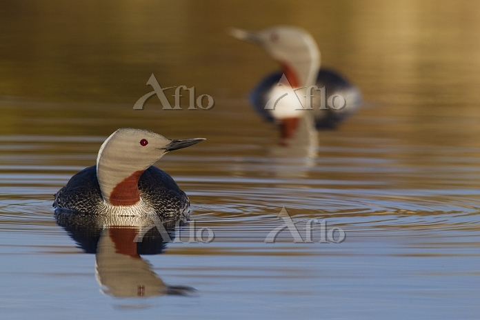 Red-throated Loon Pair, Photo ・・・