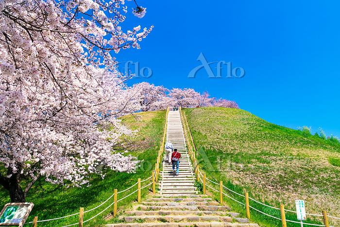 埼玉県 さきたま古墳公園の桜