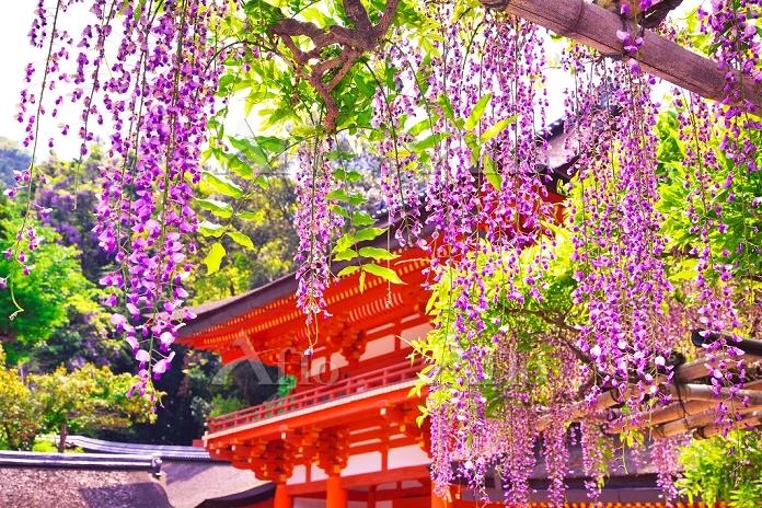 奈良県 フジの咲く春日大社 南門