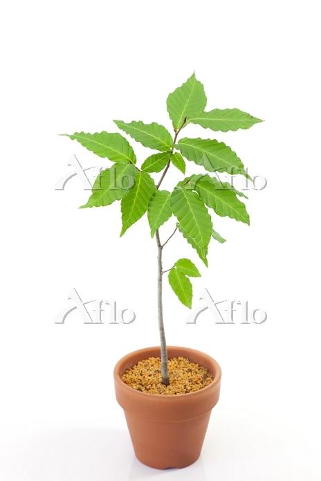 ブナの苗木