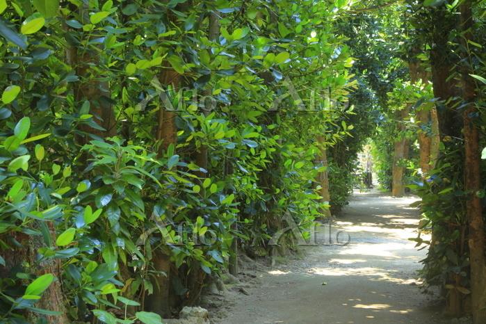 沖縄県 備瀬のフクギ並木
