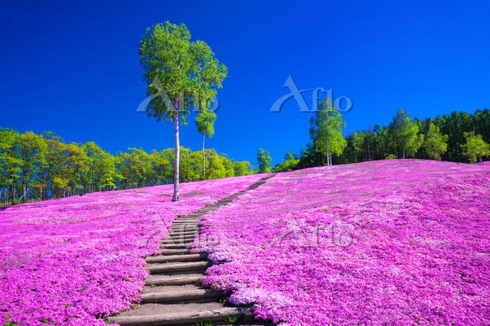 北海道 滝上公園の芝桜