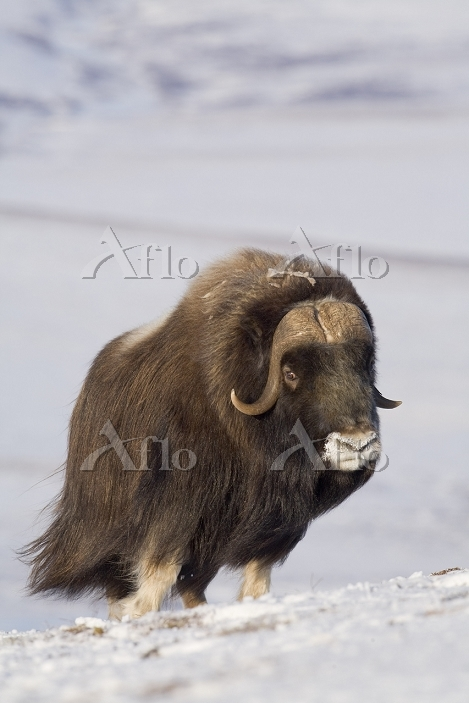 Muskox bull standing in the wi・・・