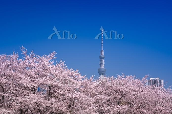 東京都 桜並木と東京スカイツリー