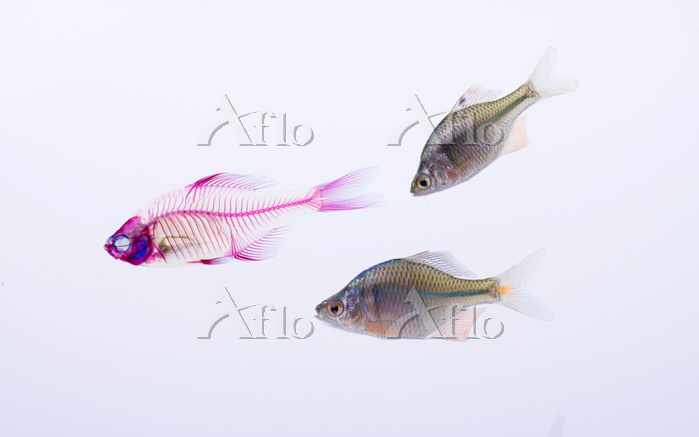 タイリクバラタナゴ Rhodeus ocellatus oc・・・