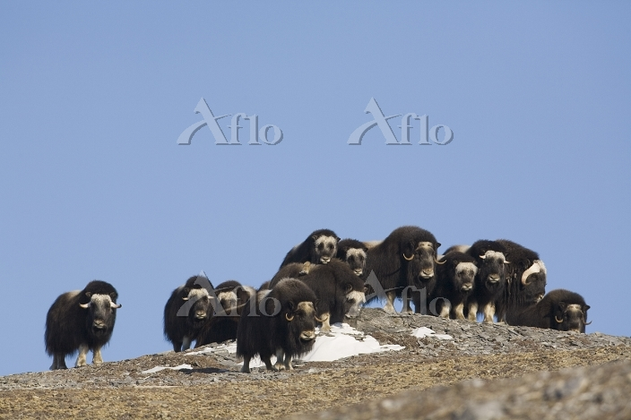 Muskox herd with calves on a r・・・