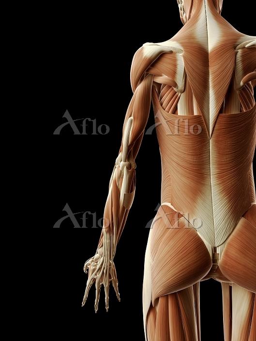 人体 筋肉構造