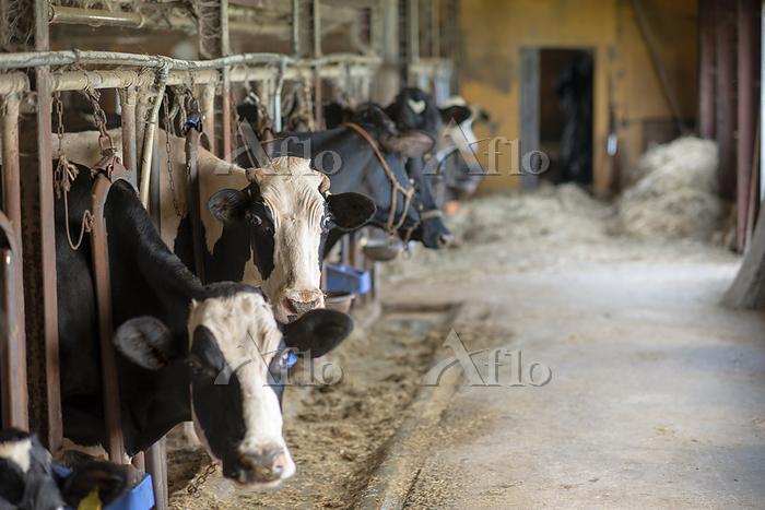 牛舎の中の牛たち