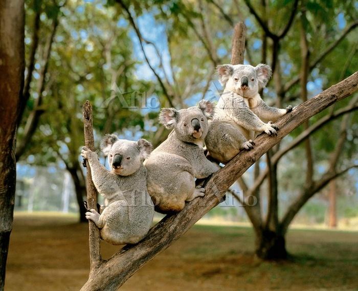 3匹のコアラ