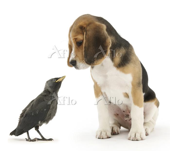 Beagle puppy with fledgling Ja・・・