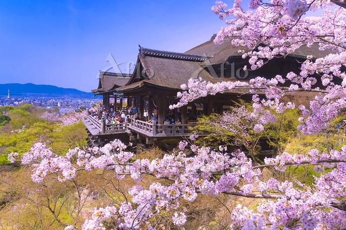 京都府 サクラの咲く春の清水寺