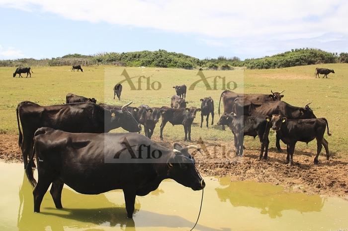 沖縄県 波照間島 黒毛和牛