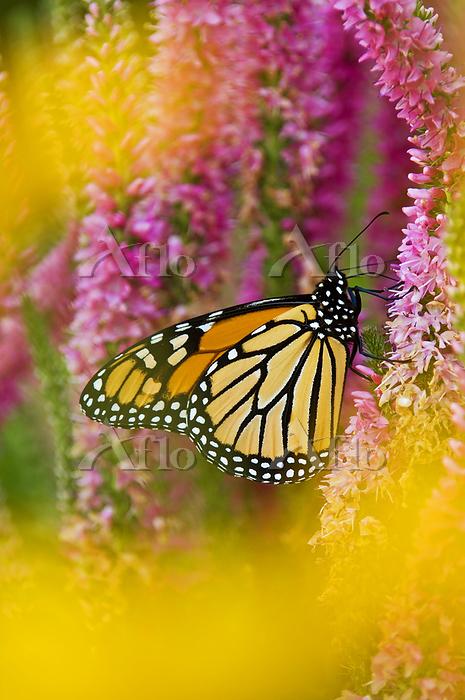 Monarch butterfly (Danaus plex・・・