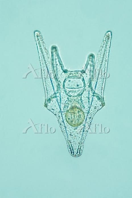 バフンウニの発生 4腕期プルテウス幼生 後期  倍率40