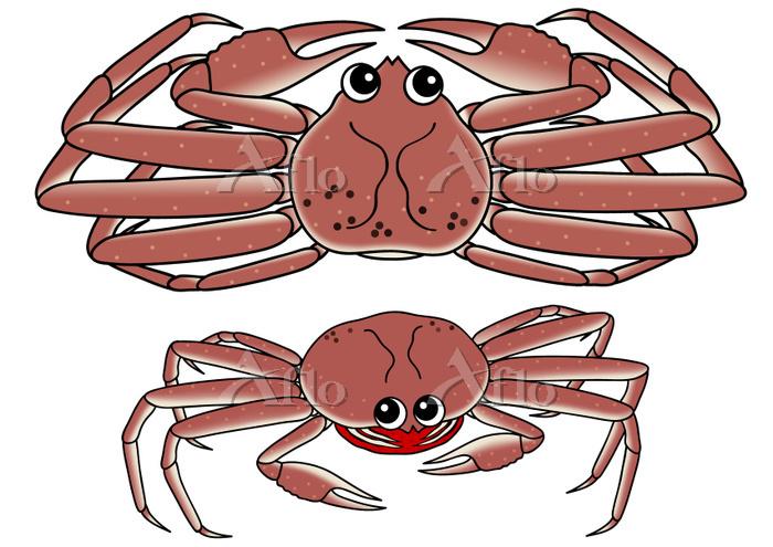 蟹のセット ズワイガニ セイコガニ 生