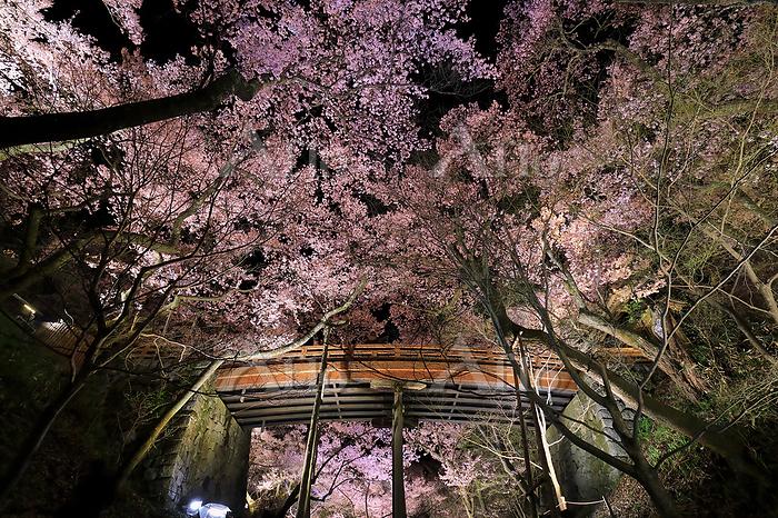 長野県 高遠城址公園 ライトアップされた高遠コヒガンザクラと・・・