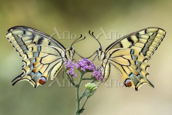 Two swallowtail butterflies on・・・