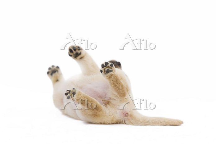 ひっくり返る子犬 ラブラドールレトリバー