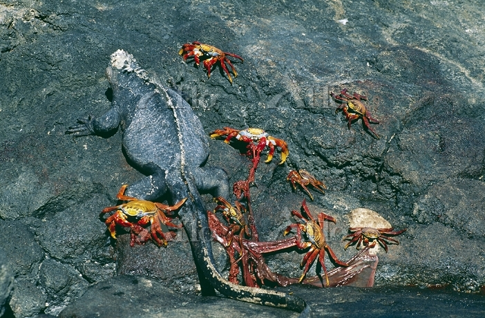 Sally Lightfoot Crabs - with M・・・