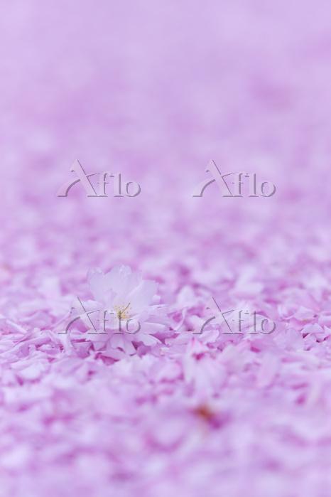 八重桜の花びら舞う春