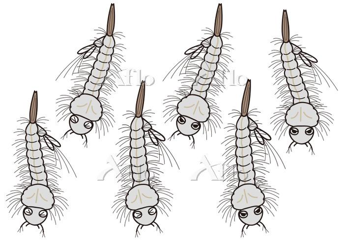ボウフラのセット 蚊の幼虫