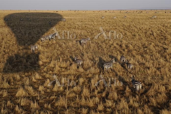 ケニア マサイマラ国立保護区 熱気球の影とグラントシマウマ