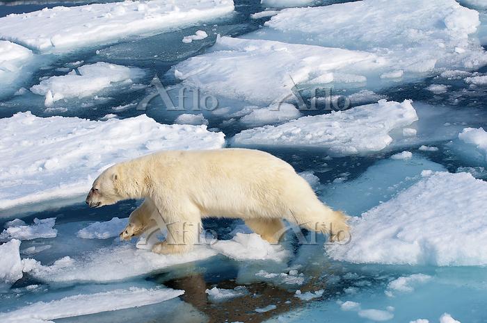 Polar bear (Ursus maritimus) o・・・